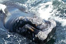 North Atlantic Right Whale callosities