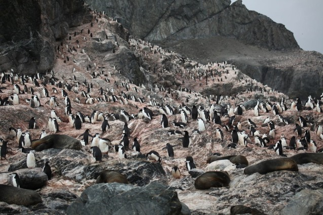 A whole flock of penguins on Elephant Island, in Antarctica.